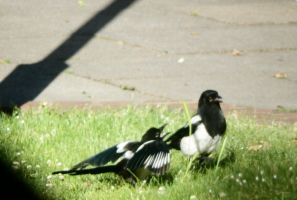 NOISY TEEN MAGPIE AND PARENT by LUSHMONTANAS