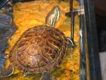 red Eared Slider 3 by Polly-Stock