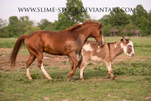 gatied quarter horse gait - canter transition by slime-stock
