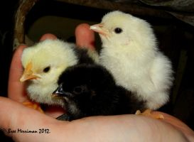 Bantam Chickens by BreeSpawn