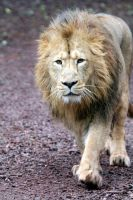 African Lion by InsaneGelfling