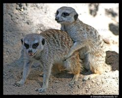 Humping Meerkats by TVD-Photography