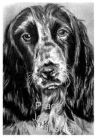 The English Springer Spaniel by jolabrodnica