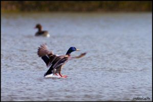 Mallard Touch Down by Moosplauze