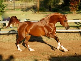 RA canter side on in sun by Chunga-Stock
