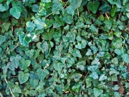Plant leaves ivy by jaqx-textures