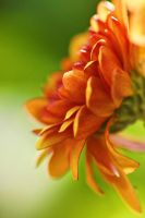 close-up of orange flower by a6-k