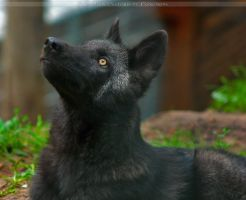 Timberwolf Pup4 by Khalliysgraphy