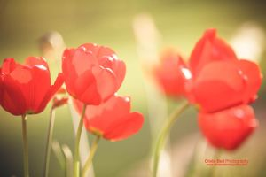 Tulips - Day 257 by escaped-emotions