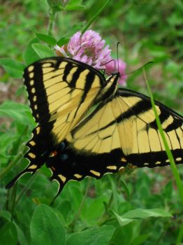 Monarch butterfly 1 by SummersKiss
