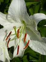 Precious drops on a lily stamen by Mogrianne