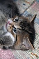 Portrait of a kitty by LucieG-Stock