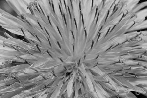 Black and White Dandelion by S-H-Photography