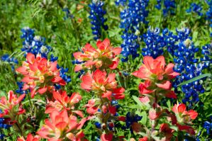 Bluebonnets Two by wolf02