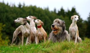 Whippets and Irish Wolfhound by laura75325