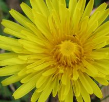 Dandelion close-up by schaduwvacht