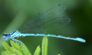 Azure damselfly by karliosi