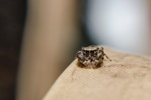Shy Jumping Spider by therealroginmq