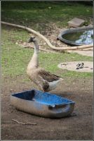 Goose by 22photo