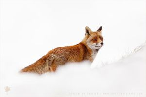 Red Fox in a White World by thrumyeye