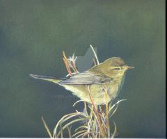 willow warbler by cerllovian