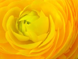 Another Yellow Flower 2 by cokebottleglasses