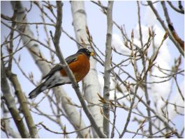 American Robin 2 by SuicideBySafetyPin