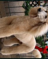 MICKEY STANDARD POODLE by CRYSTALSPICS