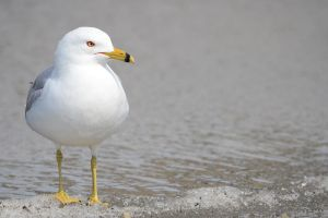 Ring-billed Gull by GuillaumGibault