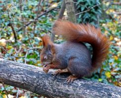 Squirrel 147 by Cundrie-la-Surziere
