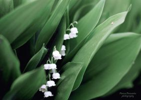 Lilies of the valley. by panna-poziomka