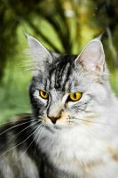 Elvis, the main coon by DeviantTeddine