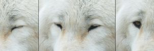 Resting Wolf Opening Eyes Reference by FurLined