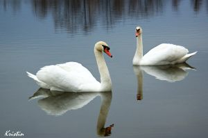 Swans pair by KristinCross