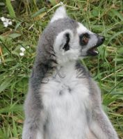Ring-Tailed Lemur_01 by Tebyx