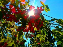 Ash Berry Stock Image-2 by Neo282Mw-Stock-Image