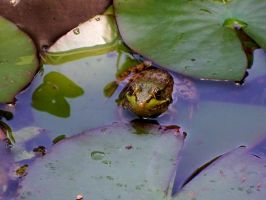 Frog by morgie39