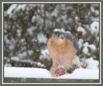 Sharpshinned Hawk by AuTuMn-Lee