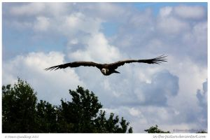Soaring Vulture by In-the-picture