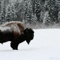 Bison IX by wroth