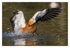 Ruddy Shelduck Washing by Neutron2K
