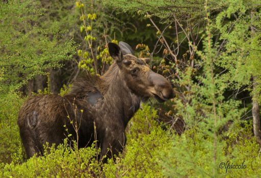Spring Moose by Les-Piccolo