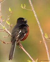 Male Rufous Towhee II 2011 by natureguy