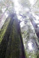 Redwoods by Steph2007