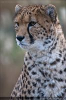 Male Cheetah 0838d by mym8rick