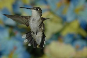 Humming bird in Flight 3 by Kallidoan
