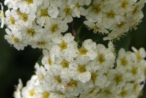 Bridal Wreath flowers by LocationCreator