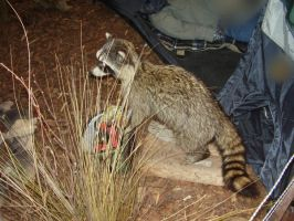 Racoon 5 by gothfiend-stock