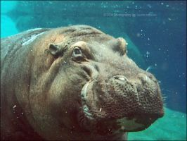 hippo. by qwe645rty282