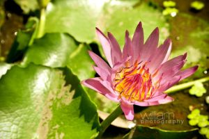 Water Lily Blossom by williamlie